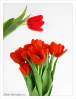 red_tulips.png