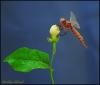 Dragon_fly2.jpg