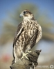 falcon11.JPG
